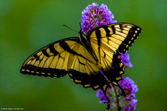 2018.07.04.0068 Swallowtail Butterfly (Brunswick Forge) Tags: 2018 outdoor outdoors nature wildlife grouped nikond500 tamron150600mm summer home house virginia animal animals animalportraits favorited
