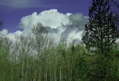 Clouds and Trees (robinlamb1) Tags: nature landscape outdoor trees forest tree evergreen springgreening langley bluesky cloud dramatic