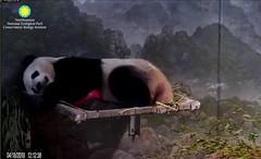 Panda Bei (pattie7459) Tags: ccncby smithsonianscreenshot nationalzoo sleepyheads pandabei