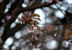 a kind of sakura... (Ola 竜) Tags: sakura cherryplum prunus pinkflowers bloomingtree cherryblossom plumblossom treeinbloom blossoms blossom flowering tree branches twigs bokeh dof fujixt10 tessar1354 nature spring pinkish evening composition prunuscerasiferapissardi prunuscerasifera pissardii