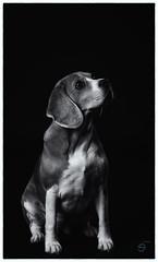 Suri (Sergio Nevado) Tags: perro dog beagle animal mascota pet estudio studio retrato portrait blanco negro black white blancoynegro blackandwhite