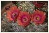 Claret Cup Cactus (gauchocat) Tags: texaspricklypearcactus tucsonmountains tucsonarizona