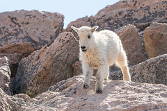 Mountain Goat kid bounds by - Sequence - 9 of 17