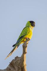 Black Hooded Parakeet (matttrevillion) Tags: brazil pantanal parakeet