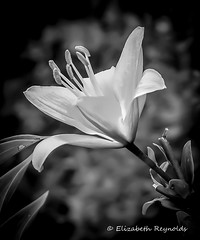 Day 194. (lizzieisdizzy) Tags: blackandwhite blackwhite black whiteandblack white whiteblack garden flower lily singlebloom leaves leaf leafy vignette petals peaceful beautiful lillium herbaceous flowering plant lileaea stigma style stamens filament tepal asiatichybrid trumpetlily