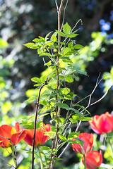 brennessel umringt von Tulpen (I-Like-My-Fotos-RAW) Tags: rot red tulips tulpe tulpen nature natur bokeh digital canon eos200d light licht grün green plant plants pflanze pflanzen blume makro hell brennessel 2018 april
