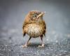 Angry Bird (Northrup) Tags: carolinawren primevszoom wren