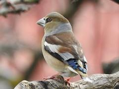 Hawfinch ♀ (Coccothraustes coccothraustes) (eerokiuru) Tags: hawfinch coccothraustescoccothraustes kernbeisser suurnokkvint bird backyardbirds p900 nikoncoolpixp900