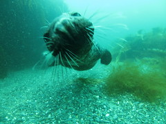 Too close! (roger_forster) Tags: greyseal halichoerusgrypus underwater diving scuba isleofman calfofman