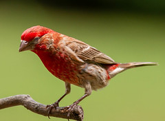 At the end of his.....twig? (114berg) Tags: 14july18 male common house finch feeder tree limb geneseo illinois