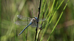 Record shot: Blue-eyed Hawker !!! (AKA Southern Migrant Hawker) ~ Aeshna affinis (Cosper Wosper) Tags: blueeyedhawker southernmigranthawker priddy mendip hills somerset aeshnaaffinis