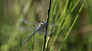 Record shot: Blue-eyed Hawker !!! (AKA Southern Migrant Hawker) ~ Aeshna affinis
