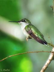 Just Chillin' (Suzanham) Tags: bird macro hummimgbird rubythroatedhummingbird small wildlife nature limb tree starkville mississippi