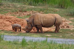 Kit and 13 (THoog) Tags: northcarolina zoo nczoo rhino rhinoceros baby babyrhino