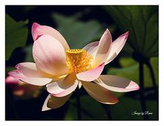 I giardini sono una delle forme dei sogni, come la poesia, la musica, la fotografia... (ramonapartelli) Tags: fior di loto rosa pink