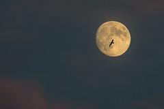 Serendipity #2 (KWPashuk) Tags: nikon d7200 tamron tamron18400mm lightroom luminar luminar2018 kwpashuk kevinpashuk moon seagull flying night evening sky fullmoon full nature outdoors oakville ontario canada