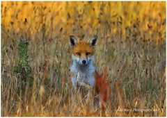 Watchful fox (awardphotography73) Tags: orang wales cardiff foxingrass vixen wildlife animal nature fox
