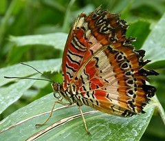 Butterfly (Traigh Mhor) Tags: 2018 utrecht netherlands holland butterfly july botanic garden cethosiabibles redlacewing