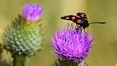 Burnet Moth (doranstacey) Tags: nature wildlife insects butterflies burnet moths moth kiveton woodland macro macrophotography nikon d5300 tamron 150600mm bokeh
