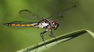 Slaty Skimmer (immature male)- Aripeka Sandhills Preserve