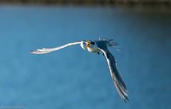 Flipping fish!! (Mykel46) Tags: 100400mm a9 sony tern flying flight fishing wildlife nature birds bif