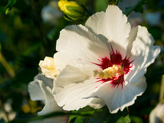White hibiscus (Raoul Pop) Tags: garden summer flowers plants hibiscus outdoors sunlight evening home white