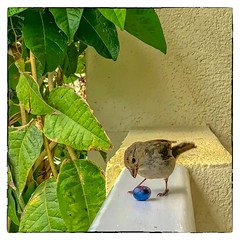 Breakfast (Timothy Valentine) Tags: 2018 0418 blueberry bird vacation ourhotel bridgetown christchurch barbados bb