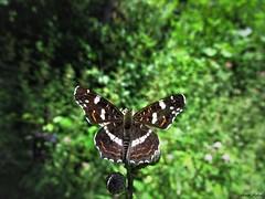 Butterfly 1702 (+1300000 views!) Tags: butterfly borboleta farfalla mariposa papillon schmetterling فراشة