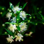 Myrtle (Myrtus communis)  :  ギンバイカ(銀梅花、銀盃花) thumbnail