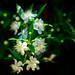 Myrtle (Myrtus communis)  :  ギンバイカ(銀梅花、銀盃花)