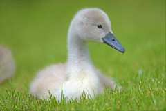 One Summers Day... (KissThePixel) Tags: cygnet swan baby animal bird nature naturephotography love cute spring summer happy happiness beautiful beauty nikond750 tamron 150600mm wildlife