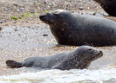 Wild Grey Seals at Blakeney Point in Norfolk. Thanks to Temple Seal Tours for taking us out. (Jon Lelacheur Photography) Tags: sea seal wildlife nature norfolk blakeneypoint canon7dmk2 wildanimals uk jonlelacheurphotography selftaughtphotographer