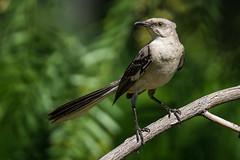 Mockingbird (mjeedelbr) Tags: mockingbird