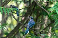 arcadia2018-313 (gtxjimmy) Tags: nikond7500 nikon d7500 arcadiawildlifesanctuary massaudubon audubonsociety massachusetts summer audubon newengland bird birds bluejay jay