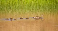 Mallard with ducklings (az3) Tags: duck anatidae mountdiablo