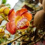 Sara tree flower, Wat Faham, Chiang Mai, Thailand thumbnail