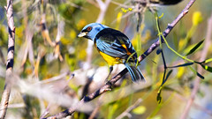 Blue-and-yellow Tanager (Guilherme Fialho Soares) Tags: tree day morning sun light life forest color colors colour colours blue green animal wildlife beauty beautiful nature photo photography picture travel trip earth brazil art sky bird birds eyes eye
