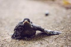 Grey Catbird (Heather Bean VT) Tags: graycatbird babybird fledgling wing wings ground asphalt wingsout injured naturephotography