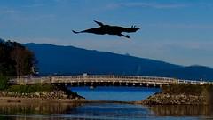 Heron above bridge to Deadman's Island, Stanley Park (Steve Burgess1) Tags: heron silhouette flight bird seabird stanleypark vancouver