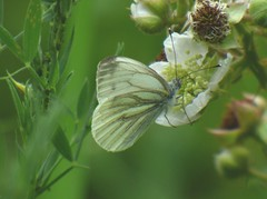 2018-07-17_08-16-18 (ste dee) Tags: butterfly whitebutterfly insect creature greenery bokeh closeup panasonic fz72 outdoors