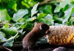 Corn nibbler (juliekemp) Tags: vole bankvole corn nature photooftheday wildlife mammals smallmammals