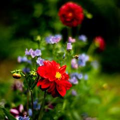 Dahlia hopping (jayneboo) Tags: dahlia plant flowers bee buzz hot garden nocti