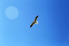 Spread your wings (alestaleiro) Tags: fly free vuelo bird gaivota gaviota seagull volare blú velo cielo sky bluesky azul bleu flare lens asas alas wings followyourdreams spread alejandrooliveraphotography alejandroolivera alestaleiro
