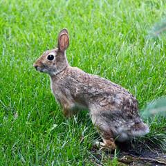 Bunny (Read2me) Tags: green park minneapolis cye pree grass bunny animal rabbit brown thechallengefactorywinner ge challengeclubwinner