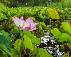 Lotus pond (Robert-Ang) Tags: lotus pond flower japanesegarden singapore