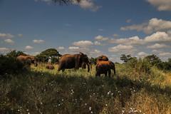 Tanzania67 (Massimo Equestre'pictures) Tags: africa tanzania leone zebra safari giraffa serengeti