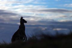 Kangaroo dawn (Mikey Down Under) Tags: animal australia australian clouds coast coffs dawn daybreak eastern grey headland icon kangaroo northcoast northern nsw silhouette silhouetted sky sunrise wild wildlife woolgoolga
