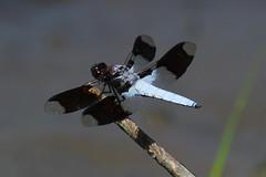 Common Whitetail (Sandy Paiement) Tags: commonwhitetail plathemislydia
