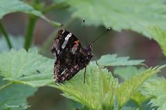 Vulcain Vanessa atalanta    (2) (Ezzo33) Tags: france gironde nouvelleaquitaine bordeaux ezzo33 nammour ezzat sony rx10m3 parc jardin papillon papillons butterfly butterflies specanimal vulcain vanessa atalanta