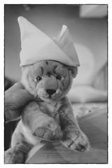 chef de cuisine (xockisfriends) Tags: chefdecuisine snowleopard cat cook paws grain portrait animal wild schlabbern nichtschlabbern schlabbernwollen flauschi enlightenment dorje sheerpower